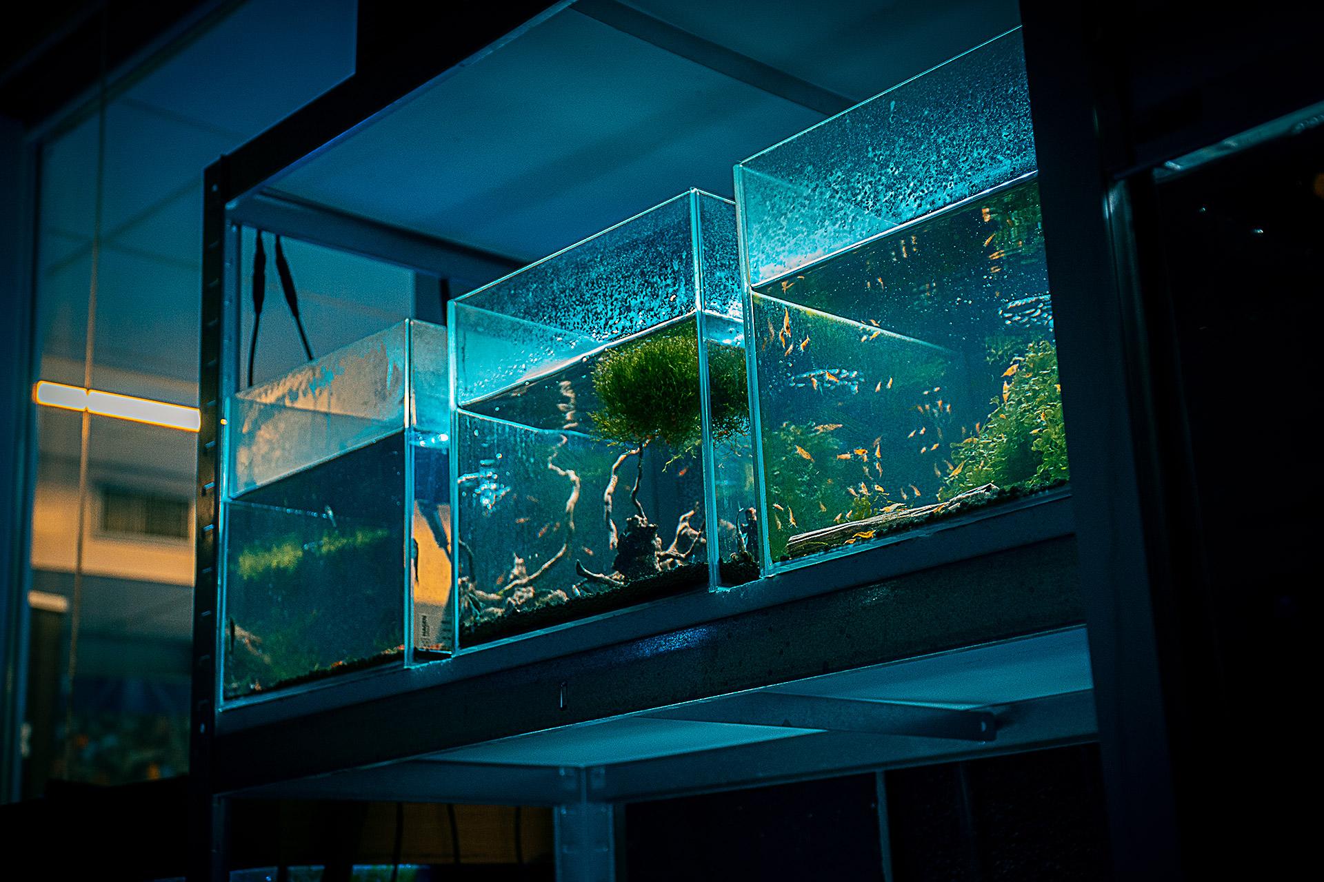 siergarnalen aquarium, crystal reds, vuurgarnalen , japonica garnalen
