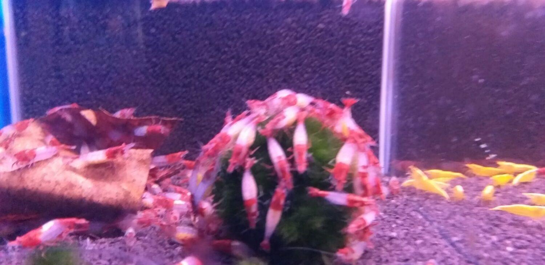 siergarnalen aquarium
